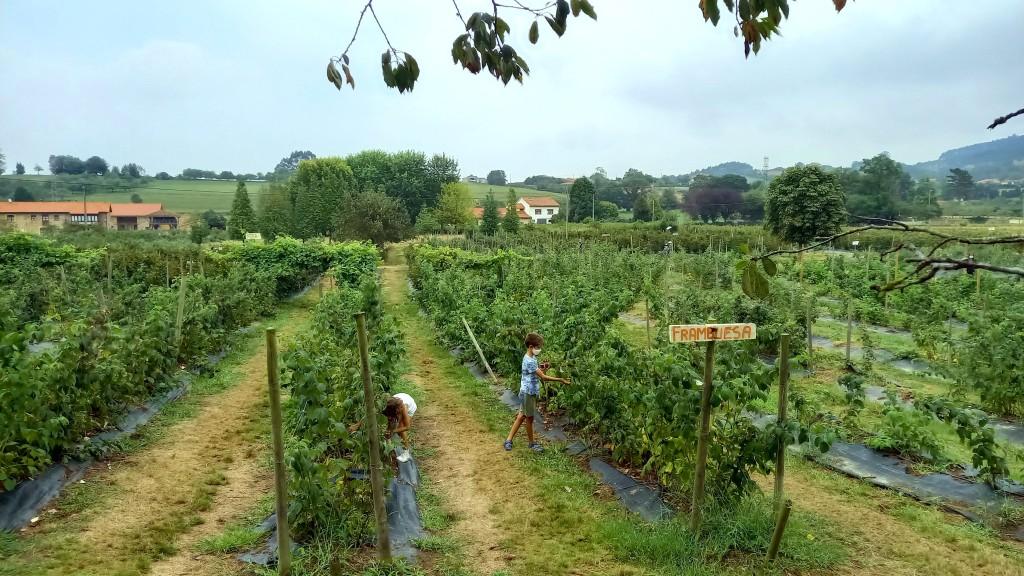 Recoger frutos rojos en la finca el Malaín en Villaviciosa